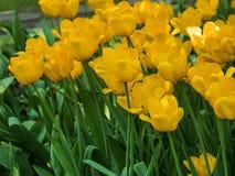 Τουλίπες Κρεβάτι ή κήπος λουλουδιών με τις διαφορετικές ποικιλίες των τουλιπών Στοκ φωτογραφία με δικαίωμα ελεύθερης χρήσης