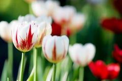 Τουλίπες Κρεβάτι ή κήπος λουλουδιών με τις διαφορετικές ποικιλίες των τουλιπών Στοκ εικόνα με δικαίωμα ελεύθερης χρήσης