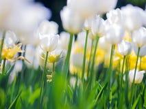 Τουλίπες Κρεβάτι ή κήπος λουλουδιών με τις διαφορετικές ποικιλίες των τουλιπών Στοκ Φωτογραφίες