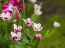 Τουλίπες Κρεβάτι ή κήπος λουλουδιών με τις διαφορετικές ποικιλίες των τουλιπών Στοκ φωτογραφίες με δικαίωμα ελεύθερης χρήσης
