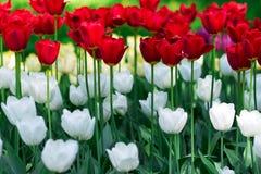 Τουλίπες Κρεβάτι ή κήπος λουλουδιών με τις διαφορετικές ποικιλίες των τουλιπών Στοκ Φωτογραφία
