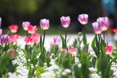 Τουλίπες Μοναδικές πορφυρές τουλίπες χρωμάτων στο φως του ήλιου Υπόβαθρο ταπετσαριών τουλιπών Η τουλίπα ανθίζει τη σύσταση floral Στοκ Φωτογραφίες
