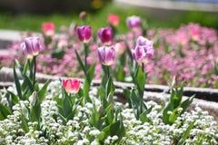 Τουλίπες Μοναδικές πορφυρές τουλίπες χρωμάτων στο φως του ήλιου Υπόβαθρο ταπετσαριών τουλιπών Η τουλίπα ανθίζει τη σύσταση floral Στοκ φωτογραφίες με δικαίωμα ελεύθερης χρήσης