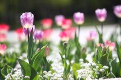 Τουλίπες Μοναδικές πορφυρές τουλίπες χρωμάτων στο φως του ήλιου Υπόβαθρο ταπετσαριών τουλιπών Η τουλίπα ανθίζει τη σύσταση floral Στοκ Εικόνες