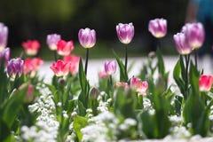 Τουλίπες Μοναδικές πορφυρές τουλίπες χρωμάτων στο φως του ήλιου Υπόβαθρο ταπετσαριών τουλιπών Η τουλίπα ανθίζει τη σύσταση floral Στοκ φωτογραφία με δικαίωμα ελεύθερης χρήσης