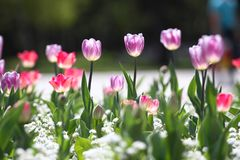 Τουλίπες Μοναδικές πορφυρές τουλίπες χρωμάτων στο φως του ήλιου Υπόβαθρο ταπετσαριών τουλιπών Η τουλίπα ανθίζει τη σύσταση floral Στοκ εικόνα με δικαίωμα ελεύθερης χρήσης