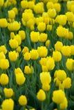 τουλίπες ξέφωτων κίτρινες Στοκ φωτογραφία με δικαίωμα ελεύθερης χρήσης