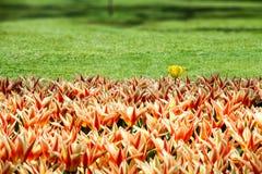 Τουλίπες πορτοκαλιών, κίτρινων και κόκκινων ελατηρίων που ακμάζουν με μια φρέσκια ενιαία άσπρη κίτρινη παραλλαγή τουλιπών Στοκ φωτογραφία με δικαίωμα ελεύθερης χρήσης