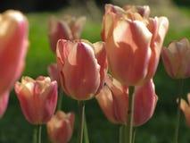 Τουλίπες ροζ και ροδάκινων κρητιδογραφιών στοκ φωτογραφία
