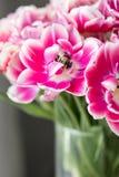 Τουλίπες του ρόδινου και άσπρου χρώματος που ανοίγουν Μεγάλοι οφθαλμοί των πολύχρωμων τουλιπών Floral φυσικό σκηνικό Τουλίπες Bic στοκ φωτογραφίες με δικαίωμα ελεύθερης χρήσης