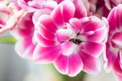 Τουλίπες του ρόδινου και άσπρου χρώματος που ανοίγουν Μεγάλοι οφθαλμοί των πολύχρωμων τουλιπών Floral φυσικό σκηνικό Τουλίπες Bic στοκ φωτογραφία