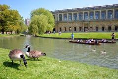 Τουρίστες και σπουδαστές που κλοτσούν στο έκκεντρο ποταμών με τις χήνες στο παρεκκλησι πρώτου πλάνου, κολλεγίου τριάδας και κολλε Στοκ Εικόνα