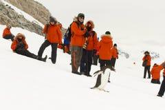 Τουρίστες και gentoo penguin Στοκ Φωτογραφία