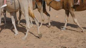 Τουρίστες που έχουν καβάλλα στις αφρικανικές καμήλες, χαμηλή άποψη τμημάτων φιλμ μικρού μήκους