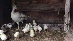 Τουρκία που φροντίζει για τα κοτόπουλα κοτόπουλου Κότα μητέρων σε ένα σπίτι κοτών απόθεμα βίντεο
