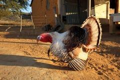 Τουρκία στην ερωτοτροπία στοκ φωτογραφίες
