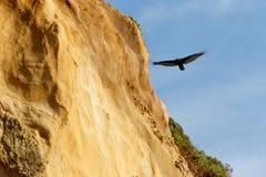 Τουρκία vulcher που πετά κατά μήκος του απότομου βράχου Στοκ Εικόνες