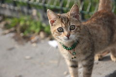 Τουρκική γάτα Στοκ εικόνες με δικαίωμα ελεύθερης χρήσης