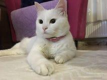 Τουρκικό Van Cat Στοκ Φωτογραφίες