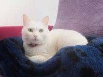Τουρκικό Van Cat Στοκ φωτογραφία με δικαίωμα ελεύθερης χρήσης