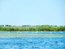 Του δέλτα κύκνοι Δούναβη Στοκ Εικόνες