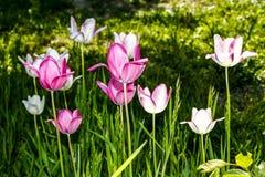 Τουλίπα - κήπος λουλουδιών Στοκ Εικόνα