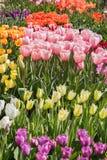 τουλίπα κήπων Στοκ Φωτογραφία
