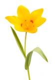 τουλίπα 01 κίτρινη Στοκ Φωτογραφία