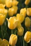 τουλίπα 01 κίτρινη Στοκ Εικόνα