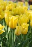 τουλίπα 01 κίτρινη Στοκ φωτογραφία με δικαίωμα ελεύθερης χρήσης