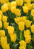 τουλίπα 01 κίτρινη Στοκ εικόνες με δικαίωμα ελεύθερης χρήσης