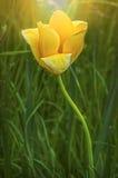τουλίπα 01 κίτρινη Στοκ Φωτογραφίες