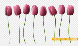 Τουλίπα λουλουδιών ρεαλιστική στο διαφανές υπόβαθρο Στοκ Εικόνες
