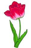 Τουλίπα, λουλούδι Στοκ φωτογραφία με δικαίωμα ελεύθερης χρήσης