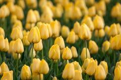 Τουλίπα Τα όμορφα κίτρινα λουλούδια τουλιπών καλλιεργούν την άνοιξη, floral υπόβαθρο Στοκ Εικόνα