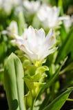 Τουλίπα του Σιάμ ή λουλούδι κουρκούμης Στοκ Φωτογραφία