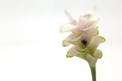 Τουλίπα του Σιάμ Στοκ εικόνα με δικαίωμα ελεύθερης χρήσης
