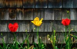 Τουλίπες - αρχικοί κόκκινος και κίτρινος Στοκ εικόνα με δικαίωμα ελεύθερης χρήσης
