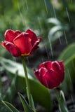 Τουλίπες κάτω από τη βροχή ανοίξεων Στοκ Φωτογραφίες