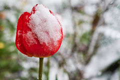 Τουλίπες κάτω από το χιόνι στοκ εικόνες