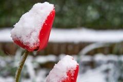 Τουλίπες κάτω από το χιόνι στοκ εικόνες με δικαίωμα ελεύθερης χρήσης