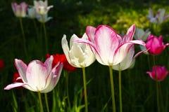 Τουλίπες - κήπος λουλουδιών Στοκ εικόνες με δικαίωμα ελεύθερης χρήσης