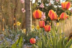 Τουλίπες κήπων Στοκ φωτογραφίες με δικαίωμα ελεύθερης χρήσης
