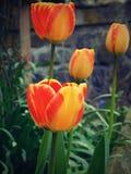 τουλίπες κήπων Στοκ εικόνα με δικαίωμα ελεύθερης χρήσης