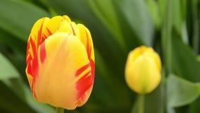 Τουλίπες Οι κίτρινες τουλίπες με τα κόκκινα λωρίδες καλλιεργούν την άνοιξη με το πράσινο μήκος σε πόδηα φυσικού υποβάθρου HD απόθεμα βίντεο