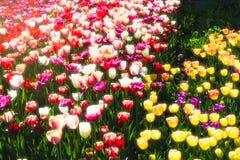 Τουλίπες λουλουδιών άνοιξη Στοκ Εικόνα