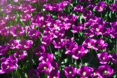 Τουλίπες λουλουδιών άνοιξη Στοκ Φωτογραφία