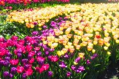 Τουλίπες λουλουδιών άνοιξη Στοκ Φωτογραφίες