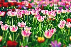 τουλίπες λουλουδιών Ξέφωτο του κοκκίνου, του ροζ και του λευκού Στοκ φωτογραφία με δικαίωμα ελεύθερης χρήσης