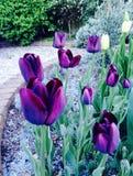 τουλίπες λουλουδιών Στοκ Εικόνα